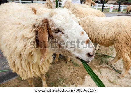 sheep in farm