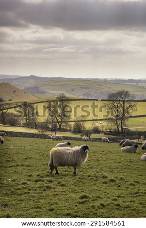 Sheep in farm landscape on sunny day in Peak District UK - stock photo