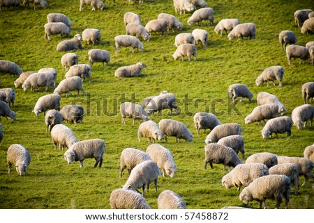 Sheep in field in New Zealand - stock photo