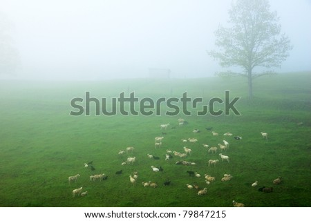 Sheep in Fog, Morning Light, family farm, Webster County, West Virginia, USA - stock photo
