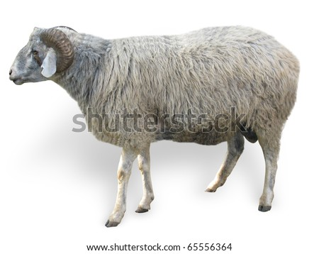 Sheep in front of a white background - stock photo