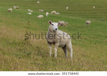sheep in front of the flock - stock photo