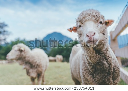 Sheep in grass field looking at camera.