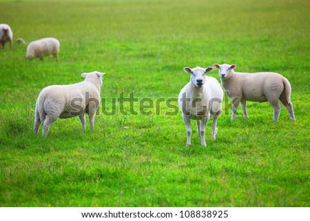 Sheep in green meadow - stock photo