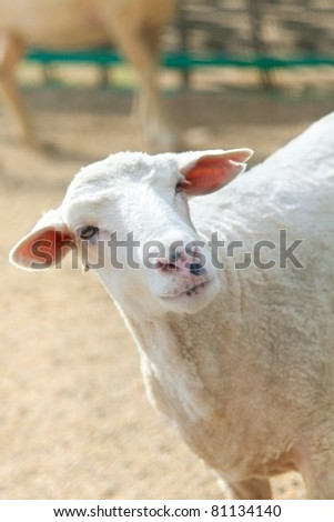 Sheep in green meadow on farm - stock photo
