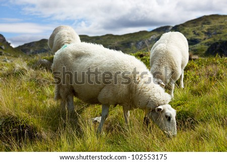Sheep in Iceland - stock photo
