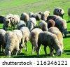 Sheep in nature grazing - stock photo