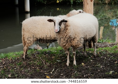 Sheep in nature on meadow. Farming outdoor.