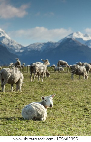Sheep in New Zealand - stock photo