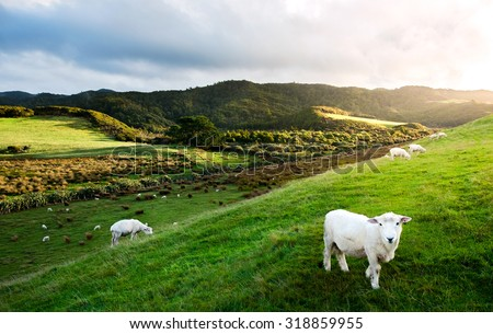 Sheep in New Zealand. - stock photo