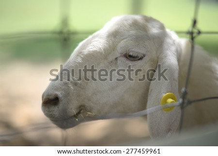 sheep  in prison soft focus blurry background. - stock photo