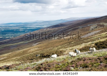 sheep in scottish highlands - stock photo