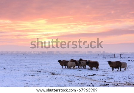Sheep in snow covered Dutch countryside during a winter sunset. - stock photo