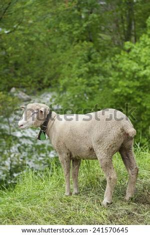 Sheep in Switzerland - stock photo