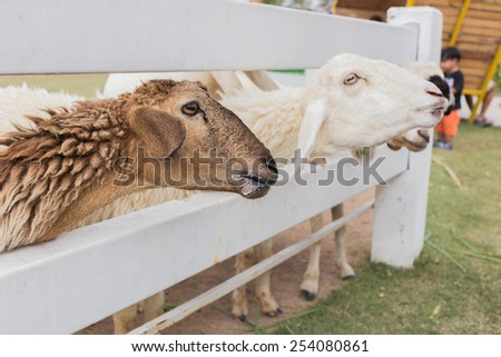 sheep in the farm are waiting for the food - stock photo