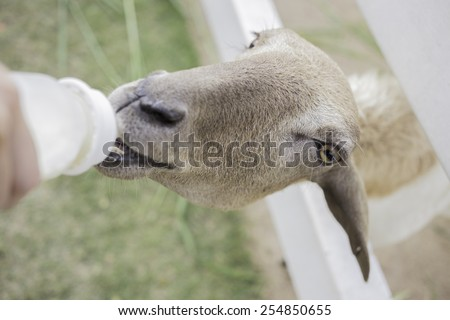 sheep in the farm is eating milk - stock photo