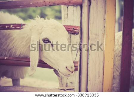 Sheep in the farm, vintage - stock photo