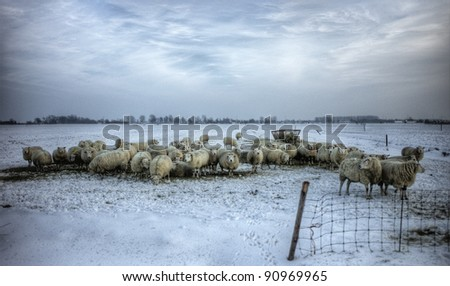 Sheep in the fields in a cold winter - stock photo