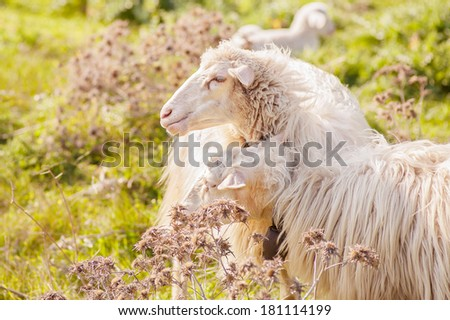 sheep in the foreground - stock photo