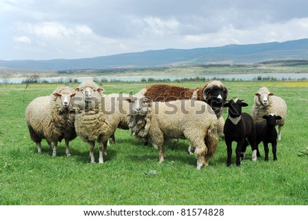sheep in the meadow - stock photo