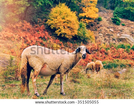 Sheep in the  mountain,Bulgaria