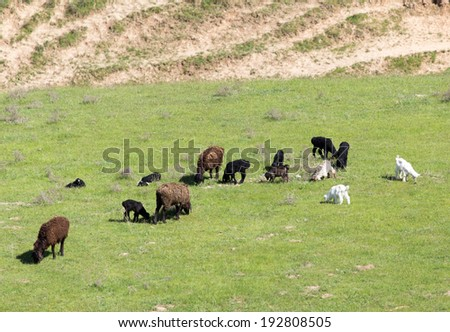 sheep in the pasture - stock photo