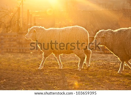 sheep in the pasture at sunset - stock photo