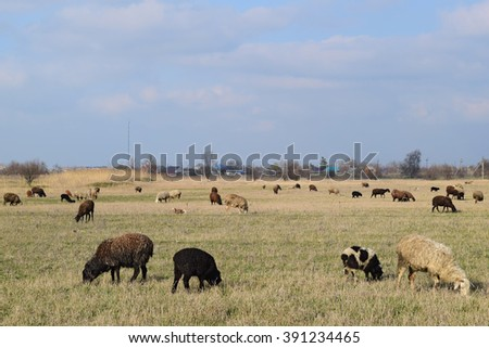 Sheep in the pasture. Grazing sheep herd in the spring field near the village. Sheep of different breeds. - stock photo