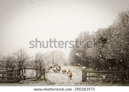 Sheep in the snow - stock photo