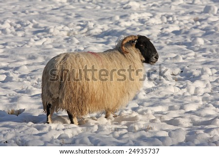 Sheep in the snow, Aberdeen, Scotland