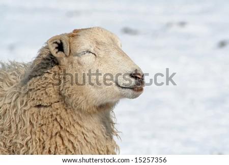 Sheep in the snow, enjoying the sun in winter - stock photo