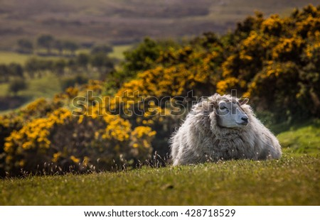 Sheep in the wild. - stock photo