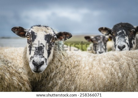 Sheep in the Yorkshire dales England countryside staring intently. - stock photo
