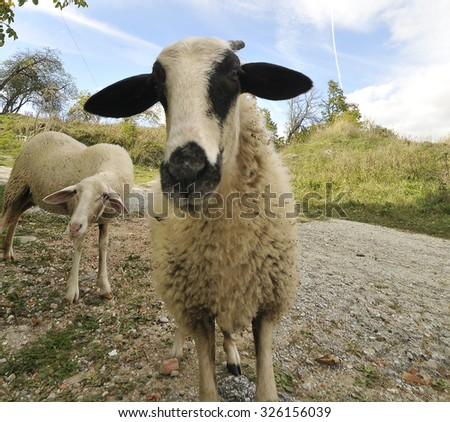 sheep in village - stock photo