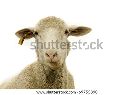 Sheep isolated - stock photo