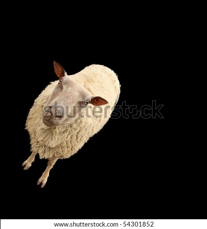 sheep isolated on black