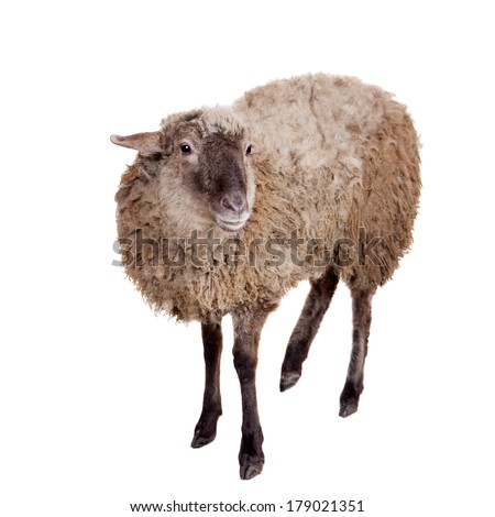 Sheep isolated on the white background