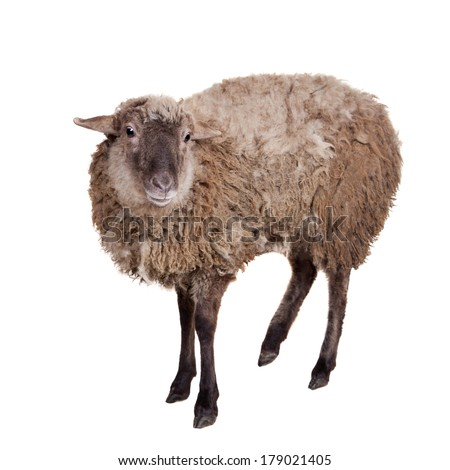 Sheep isolated on the white background - stock photo