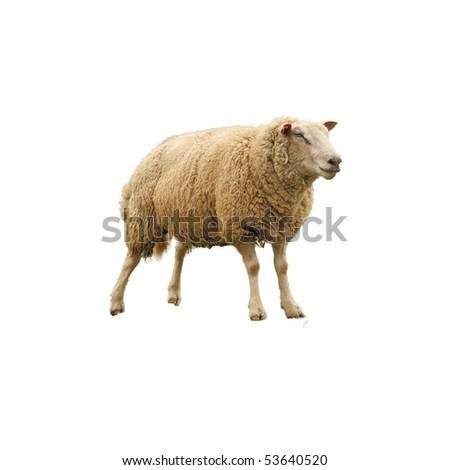 sheep isolated on white - stock photo
