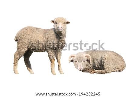 sheep isolated on white background - stock photo