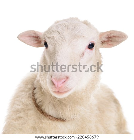 sheep isolated on white background  - stock photo