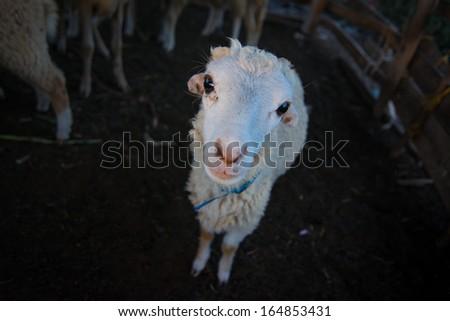 sheep, lamb - stock photo