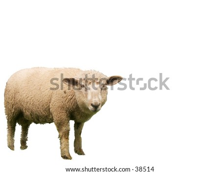 Sheep (lamb)  on white background. The animal can easily be removed from  its background - stock photo