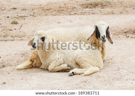 Sheep lay down,couple - stock photo