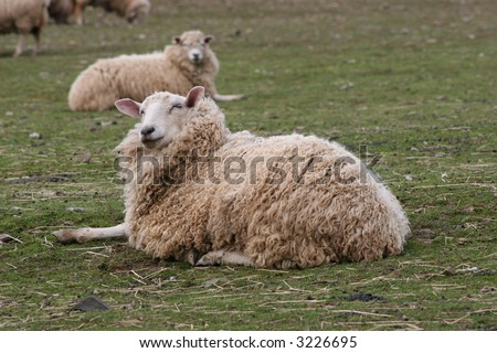 Sheep Laying Down - stock photo