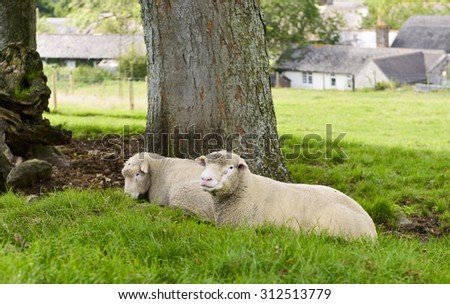 Sheep laying in the shade  - stock photo