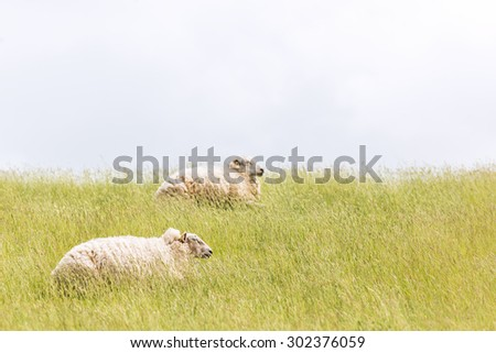 Sheep laying on levee grass  - stock photo