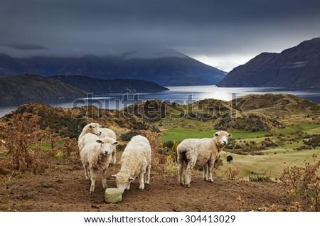 Sheep licking salt, Mount Roys, Wanaka, New Zealand - stock photo