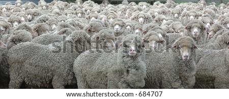Sheep looking - stock photo