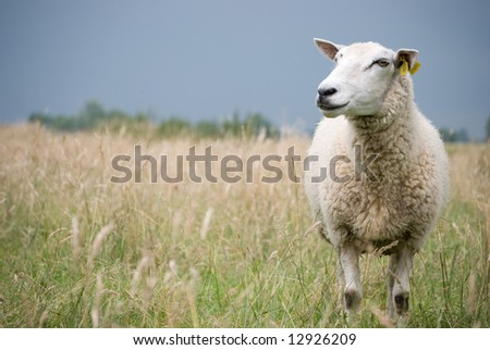 Sheep looking aside with dark blue clouds(rain) - stock photo